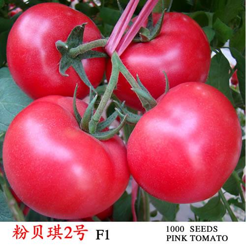 粉贝琪2号,耐热粉果番茄种子,大果粉果番茄种子,硬度高粉果番茄种子,抗线虫粉果番茄种子