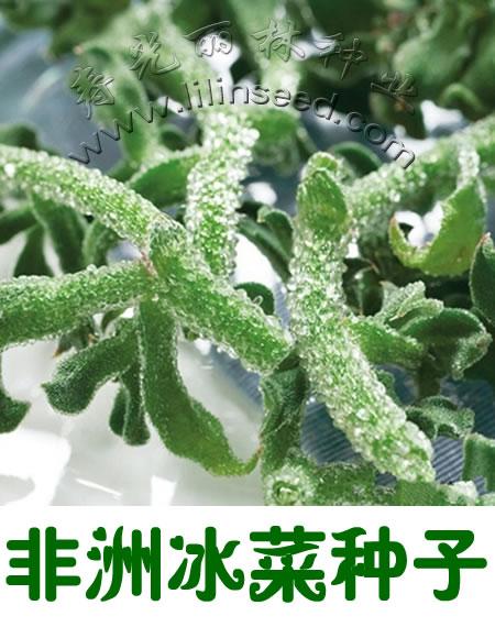 非洲冰菜种子-冰草种子