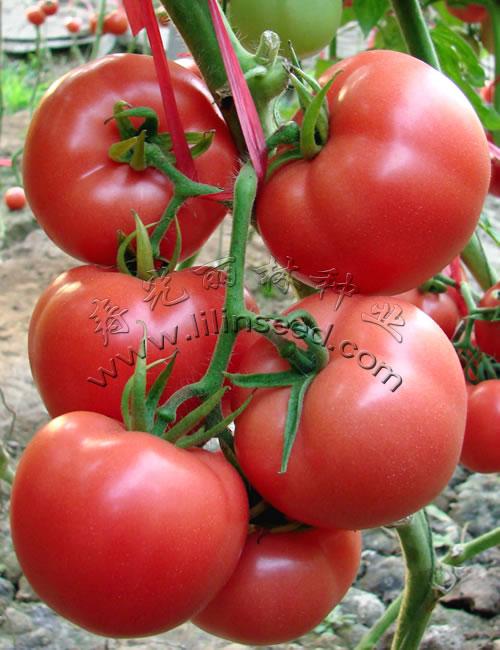 耐热、中大果、抗番茄黄化卷叶病毒(TY),高抗灰叶斑粉果番茄种子-特瑞尔