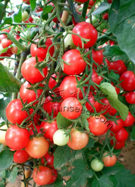 抗ty病毒粉圆樱桃番茄种子-甜蜜一号