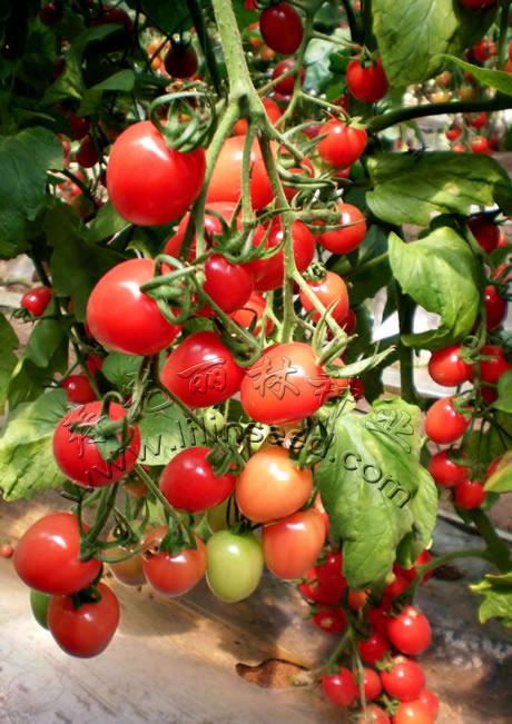 抗ty病毒樱桃番茄种子-甜蜜二号