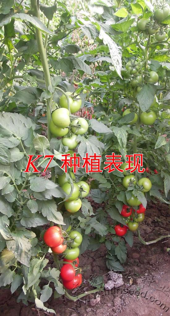 K7大红番茄种子,抗7种病害(TY病毒,南方根结线虫,叶斑病、叶霉病,枯萎病,黄萎病、烟草花叶病毒)